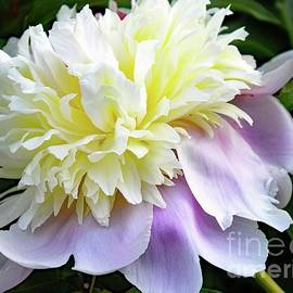 Cindy Treger - Fit For A Queen - Festiva Maxima Double White Peony