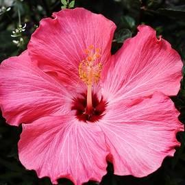 Cynthia Guinn - Five Pink Petals