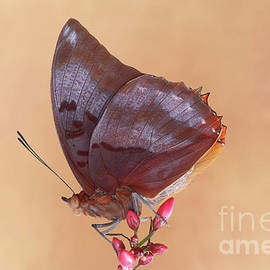 Flame-bordered Charaxes Butterfly #4 V2 by Judy Whitton