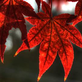 Flaming Leaves by Michael Kirk