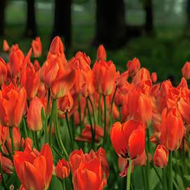 Jane Star - Flaming Tulips
