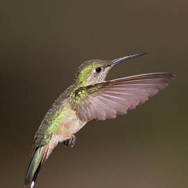 Flight of the Broad tailed Hummingbird by Ruth Jolly