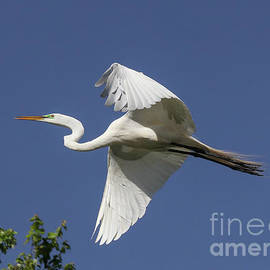 Flight of the Egret by Michelle Tinger