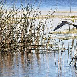 Diann Fisher - Flight Over Water Reeds