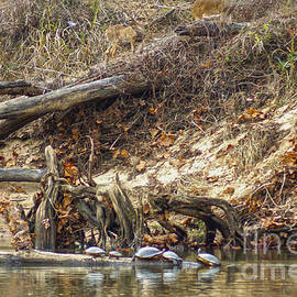 Kim Pate - Flint River Turtles and Deer