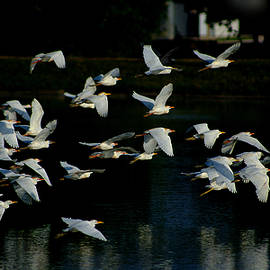 Roy Williams - Flock Of Cattle Egrets In Flight Over The Lake
