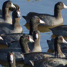 David Cutts - Flock of Coots