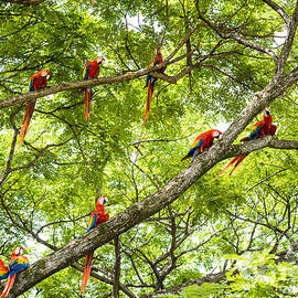 Flock of scarlet macaws by Oscar Gutierrez