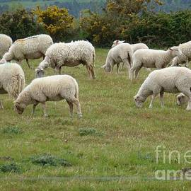 Flock Of Sheeps by Jean Bernard Roussilhe