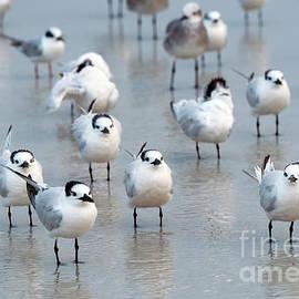Flock of Terns - Mike Dawson