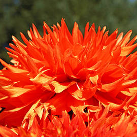 Baslee Troutman Floral Fine Art Prints - Floral Orange Dahlia Flowers Art Prints