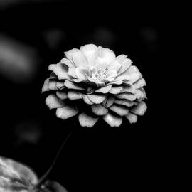 Floral Zinnia BW 01 by Thomas Woolworth