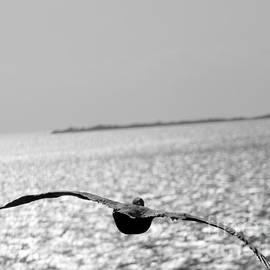 Florida Keys Pelican in flight by Charlene Cox