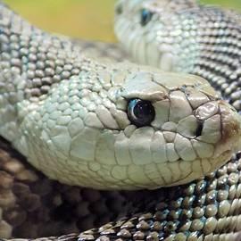 Florida Pine Snakes by Sarah Barba