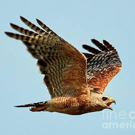 Davids Digits - Florida red shouldered hawk