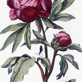 Flower, 1730 - Maria Sibylla Graff Merian