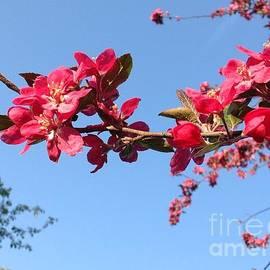 Debra Lynch - Flowering Blossoms