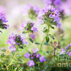 Flowering thyme - Elena Elisseeva