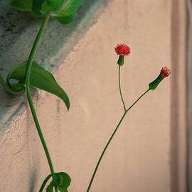 Flowers, Leaves And Wall by Frank Mari