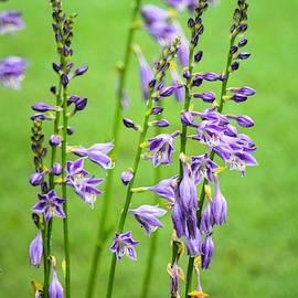 Blue Plantain Lily Hosta by Mary Ann Artz