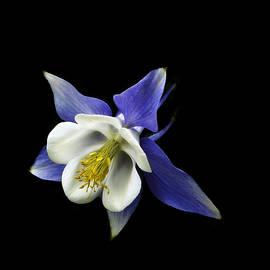 Ann Powell - flowers - photography - Columbine On Black -