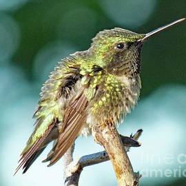 Cindy Treger - Fluffed Up Ruby-throated Hummingbird