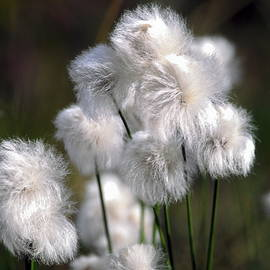 Sally Weigand - Fluffy Alaska Cotton Grass