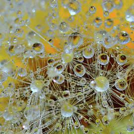 Fluffy dandelion in the droplets of rain  by Yuri Hope