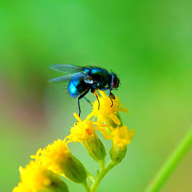 Fly macro by Lilia D