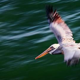 Flyby, California Brown Pelican