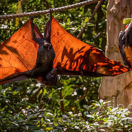 Flying foxes by Zina Stromberg