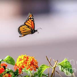 Robert Bales - Flying Monarch Butterfly