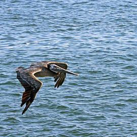 Flying Pelican by Shoal Hollingsworth