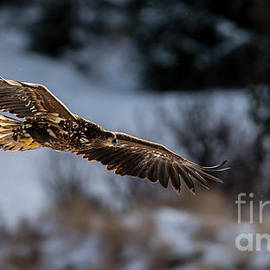 Flying White-tailed Eagle by Torbjorn Swenelius