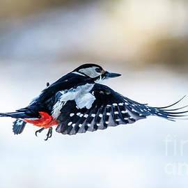 Torbjorn Swenelius - Flying Woodpecker