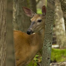 Forest Peek - White Tailed Deer - Odocoileus virginianus by Spencer Bush