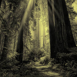 Forest Sunbeams Black And White by Greg Norrell
