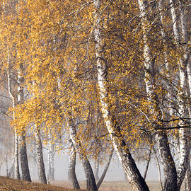 Odon Czintos - Forest with birches in the autumn