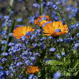 Terri Waters - Forget-Me-Not Marigold