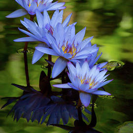 Four Beautiful Blue Water Lilies by Sabrina L Ryan