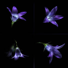 Four Bluebell Flowers - Light Painting by Alexey Kljatov