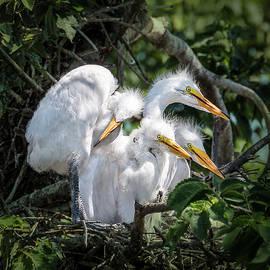 Patti Deters - Four Egret Chicks in Nest