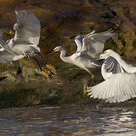 Bruce Frye - Four Egrets Take Wing