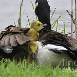 Laura Birr Brown - Four Goslings Coming Up for Air