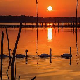 Tom Rostron - Four Swans