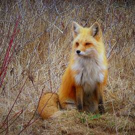 Fox 32 by Tracy Bell