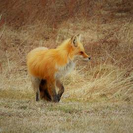 Fox 38 by Tracy Bell