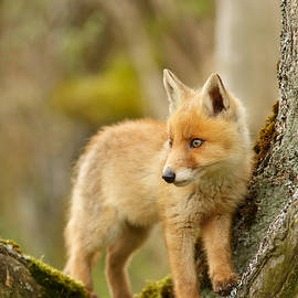 Roeselien Raimond - Fox Kit in a Tree