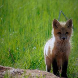 Tracy Bell - Fox Pup 104