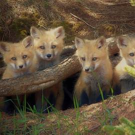 Fox Pups 1 by Tracy Bell
